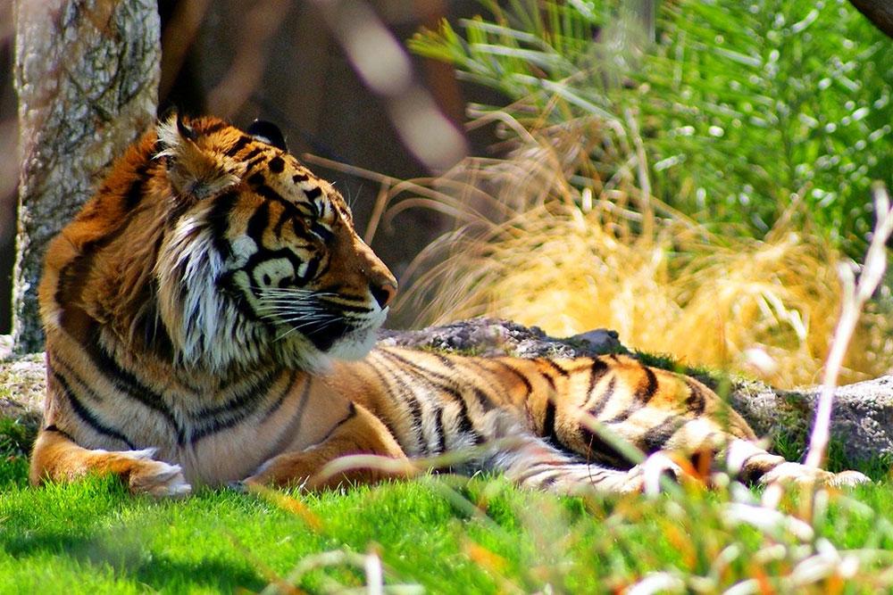 Kobieta Tygrys